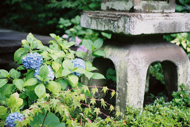 a stone lantern and blue hydrangeas