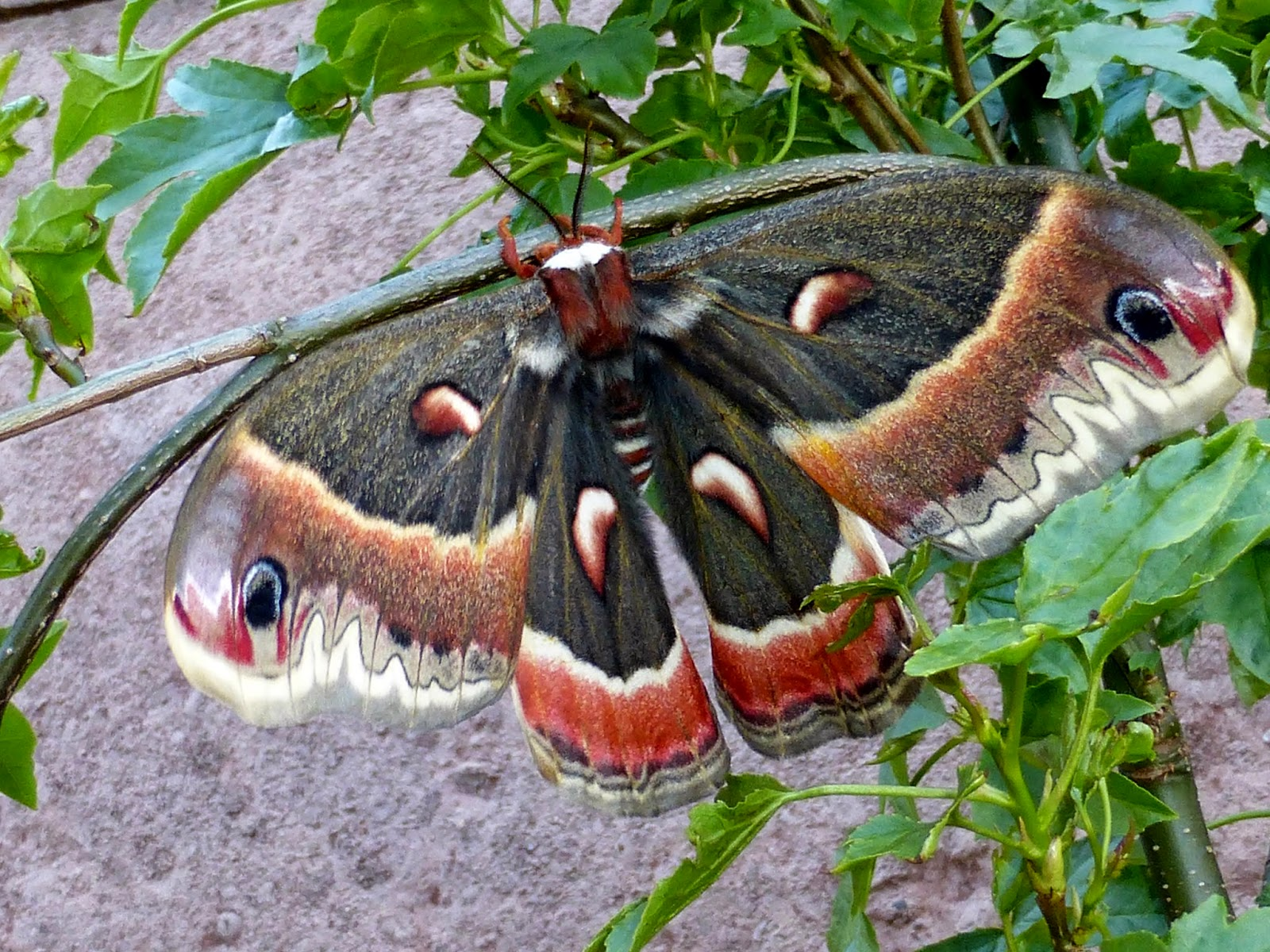Hyalophora cecropia female