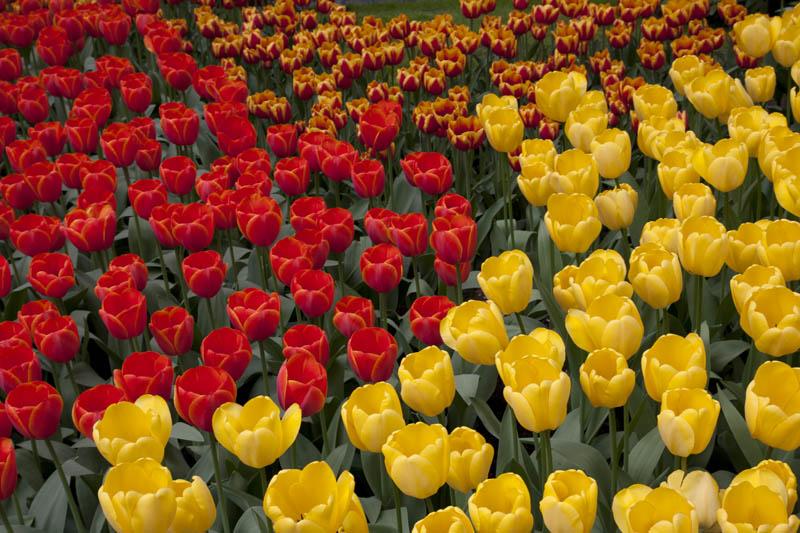 Many tulips variety in Keukenhof