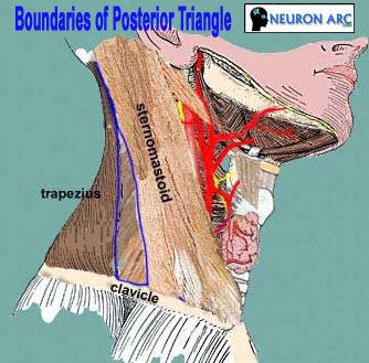 Posterior Triangle of Neck: Boundaries and Contents
