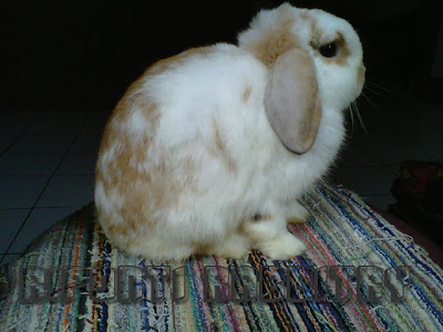 line breeding holland lop