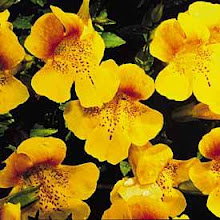 Mimulus-Monkey Flower