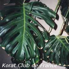 Philodendron Monstera ou Philodendron à feuilles incises