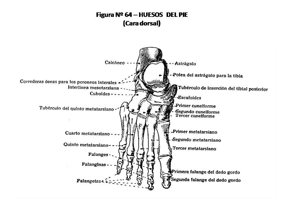 ATLAS DE ANATOMÍA HUMANA: 64. HUESOS DEL PIE, CARA DORSAL.