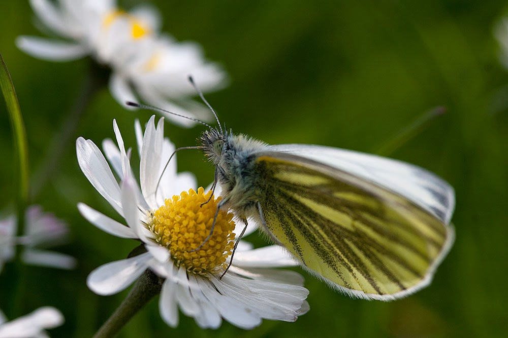 Green-veined White - Lodge Lake, Milton Keynes