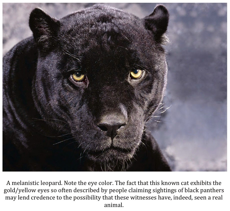 Texas Cryptid Hunter: Sightings Of Black Panthers In Texas Continue Unabated