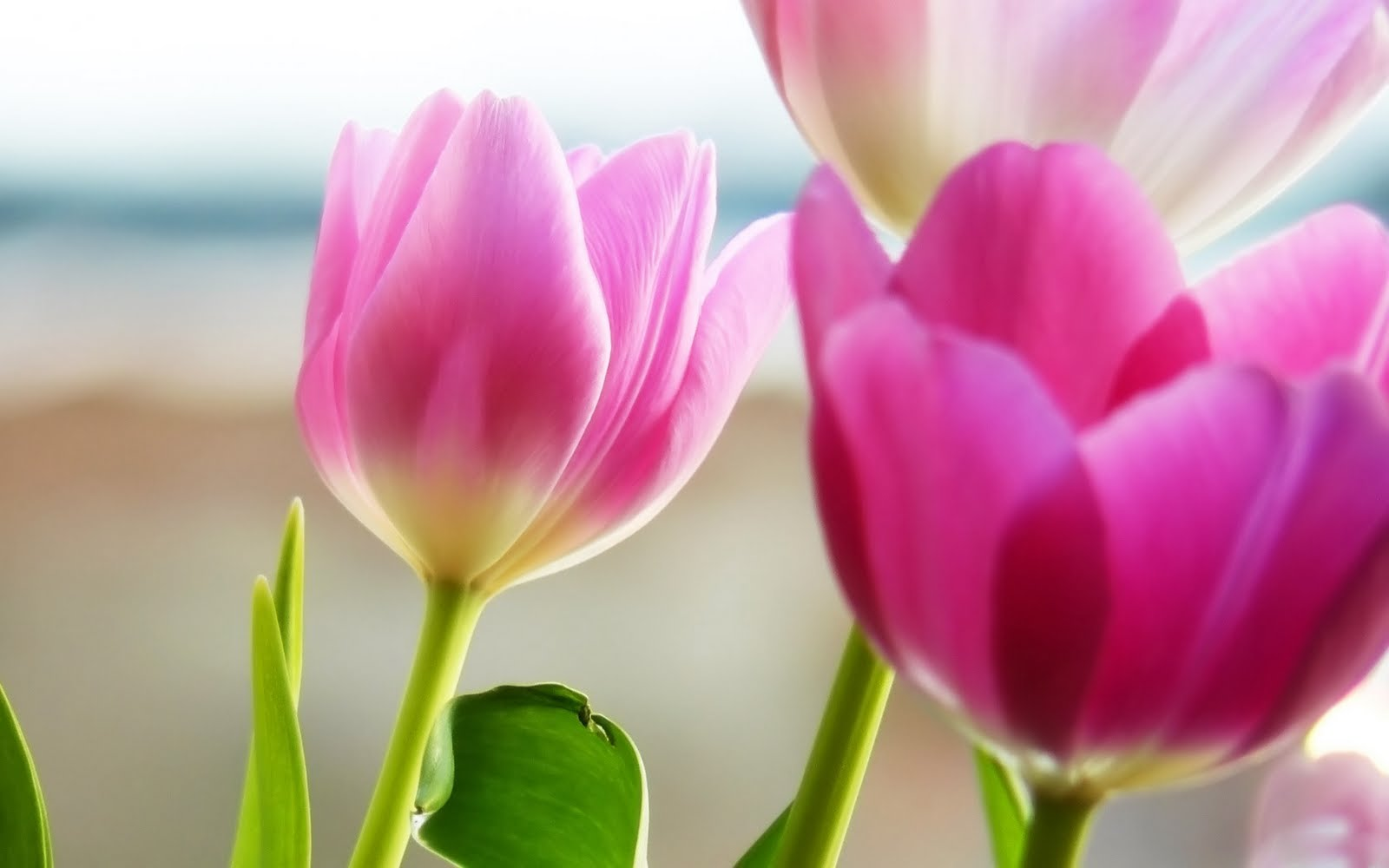 Beautiful Pink Tulips Flowers 3D Widescreen Hd Wallpapers