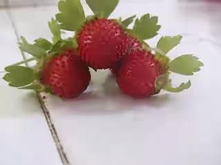 harga-bibit-buah-raspberry.jpg