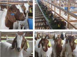 cara beternak kambing etawa