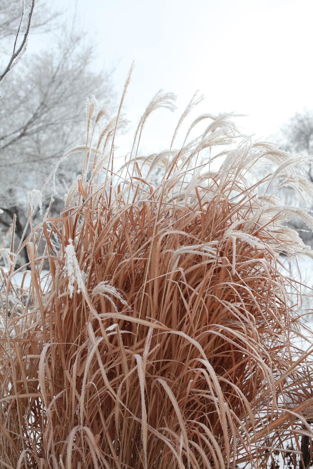 Perennial Grasses Care : Wiese acres ornamental grass care