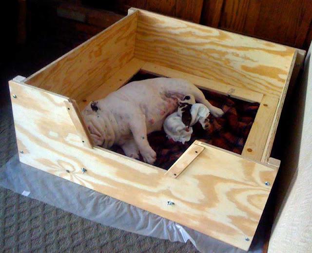 Harley Bulldogs Bulldog Whelping Box