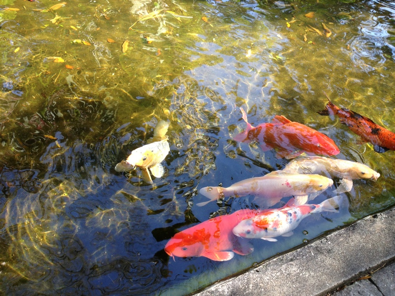 Not just about knitting marie selby botanical gardens for Nice koi fish pond