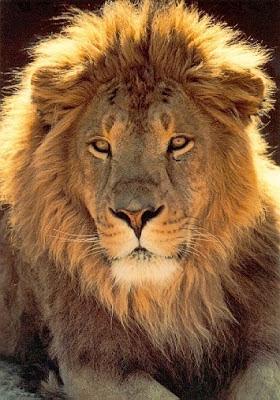 Um leão por dia: Por Tiago Birimba