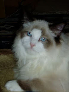 My Ragdoll cat