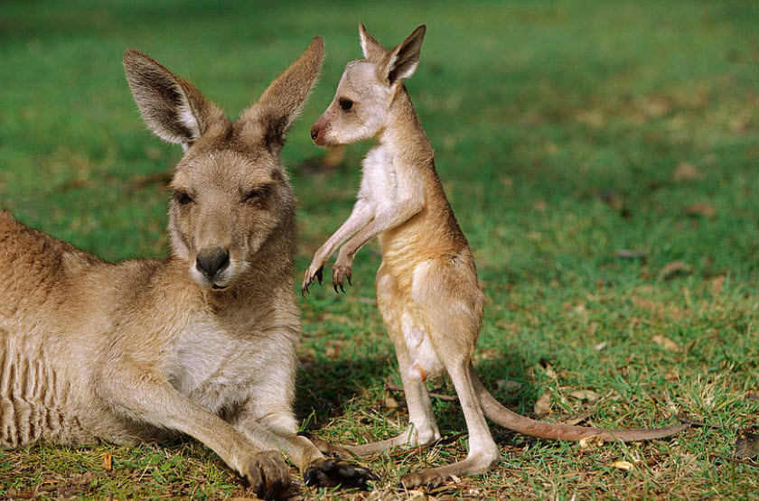 Animal You: Red Kangaroo