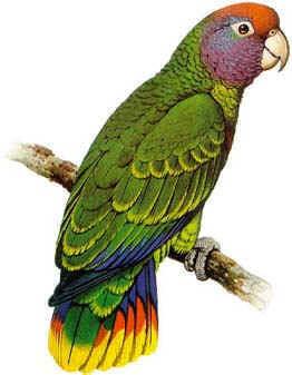 aves de Argentina en extincion Charao Amazona pretrei