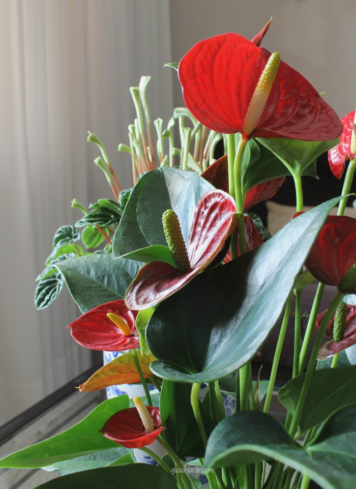 Anturio una planta de interior muy ornamental guia de for Anturio cuidados