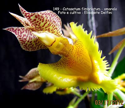 Catasetum fimbriatum do blogdabeteorquideas