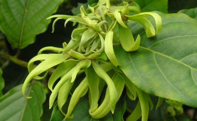Manfaat Khasiat Bunga Kenanga