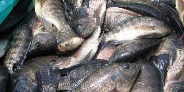 Cara Budidaya Ikan Nila dengan Produk Organik NASA (VITERNA + POC NASA + HORMONIK) | www.agrotaninusantara.com