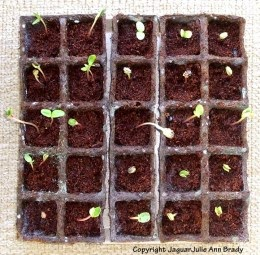 burpee seed starting kit 25 cells seedlings emerging