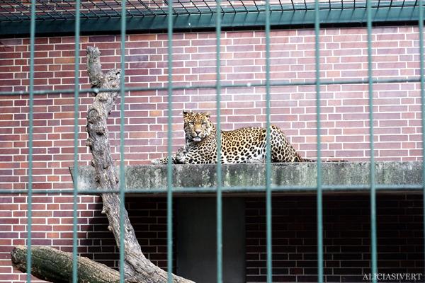 aliciasivert, alicia sivertsson, alicia sivert, berlin zoo, djurpark, djurhållning, instängda djur, djur i bur, cages, animal, animals, cage, leopard, jepard