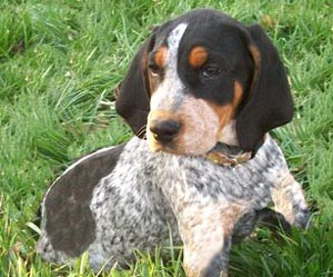 Bluetick Coonhound Puppy Pictures