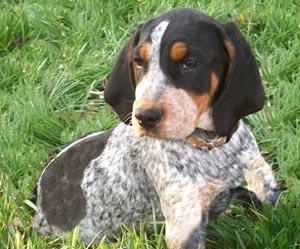 Bluetick Coonhound Puppy Pictures