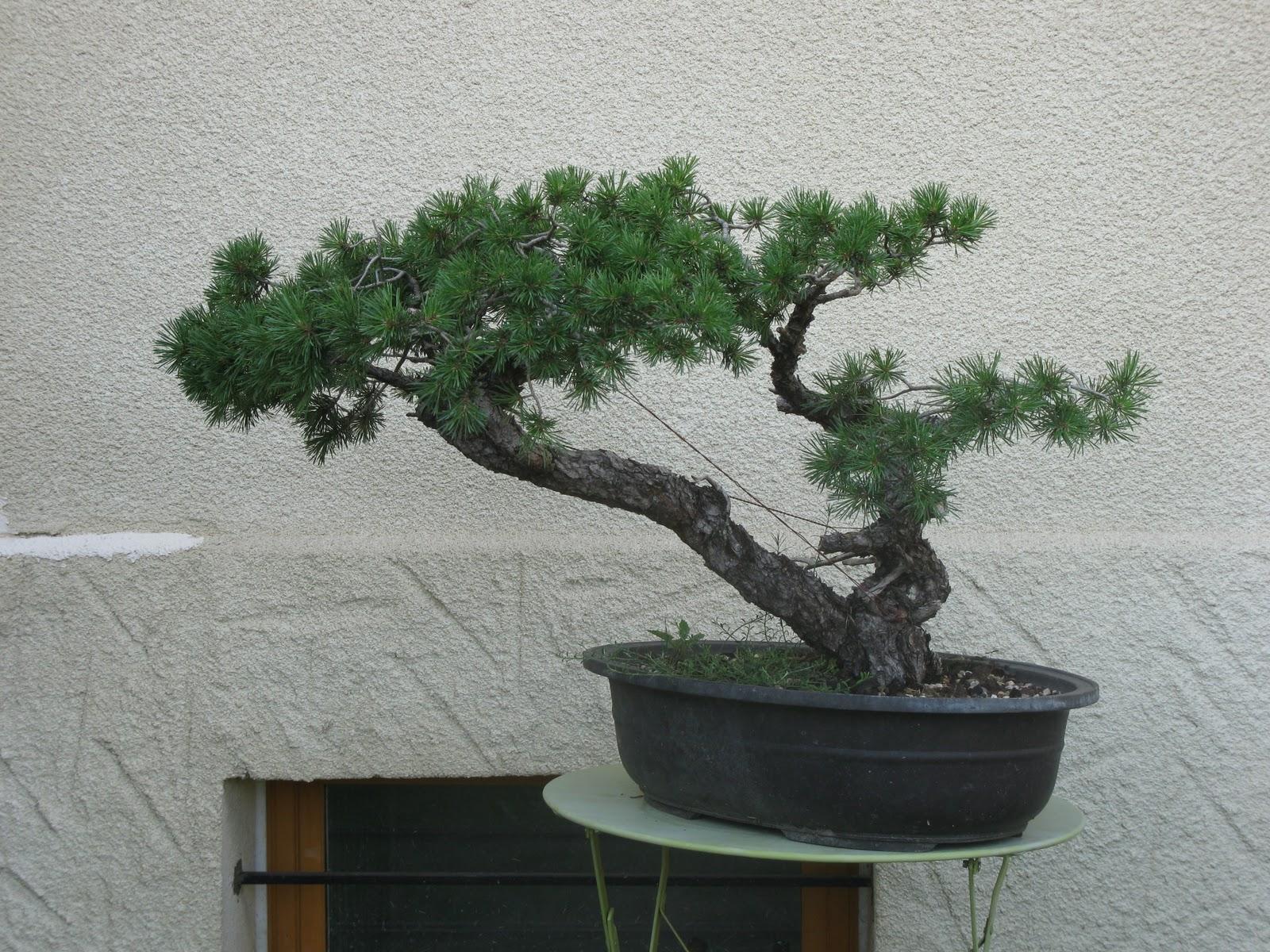 matsu bonsai histoire d un pin sylvestre 2