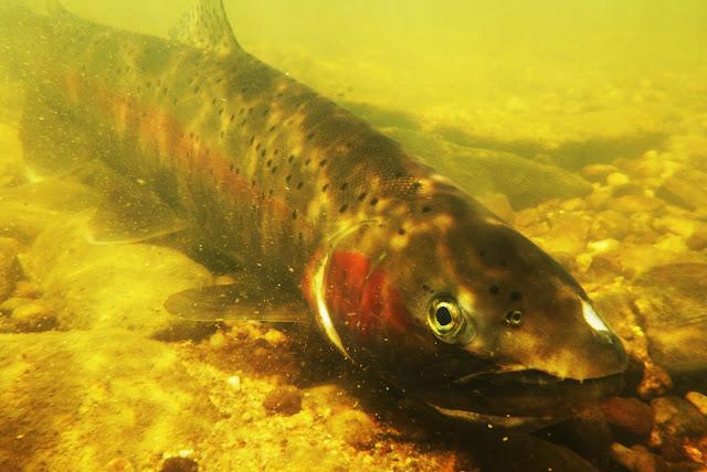 Potlatch River steelhead trout