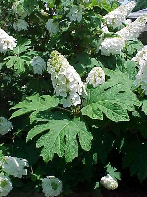 GARDENERSu0026#39; COMPANION: Flowering Shrubs Add End of Season Flower Power