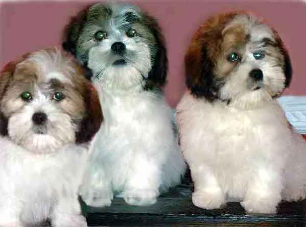 lhasa apso puppies pictures information the lhasa apso is a small able ...