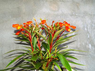 nematanthus gregarius goldfish plant. goldfish plant pictures.