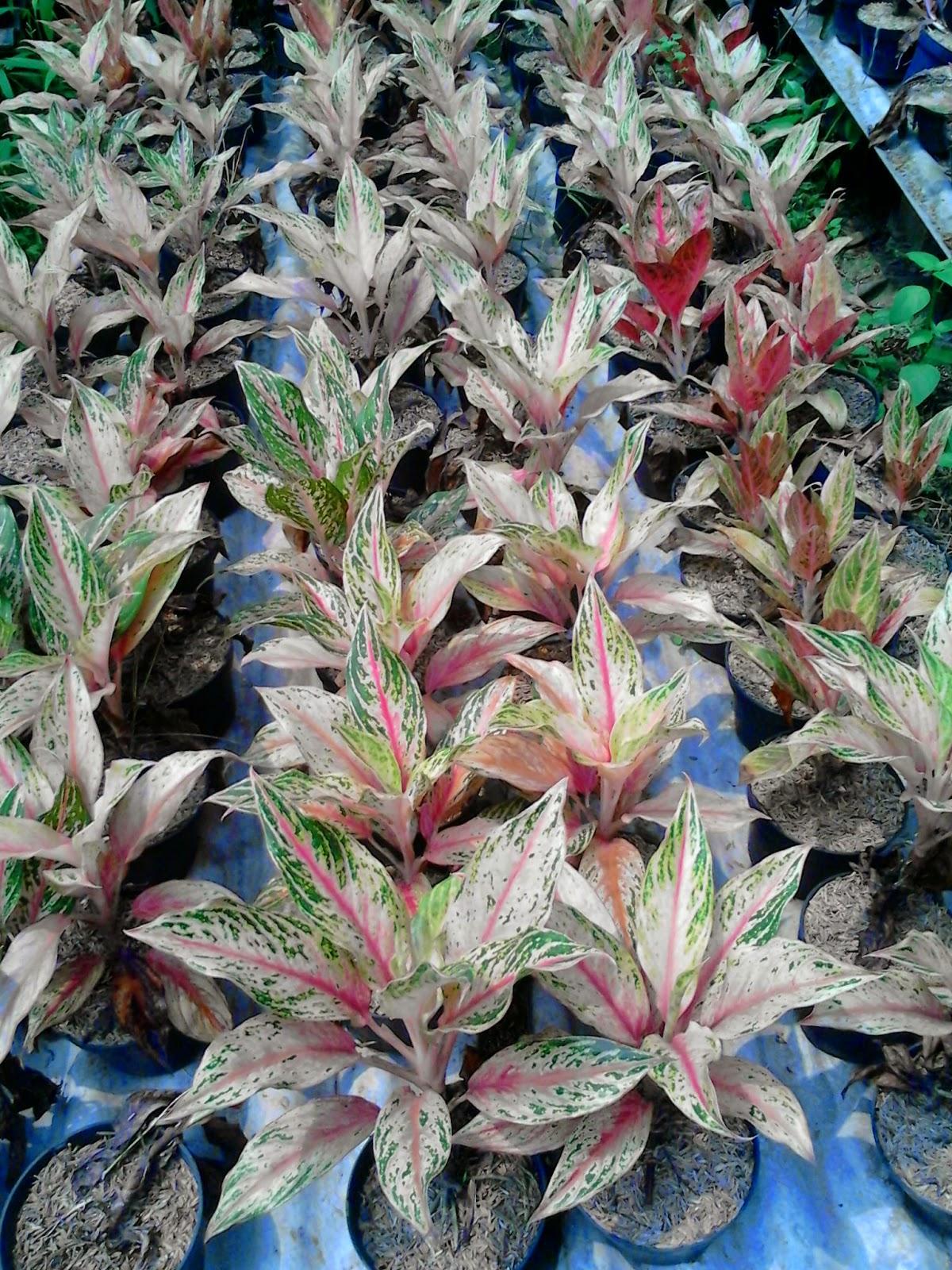 Jual tanaman hias | suplier tanaman | tanaman hias | jasa desain taman