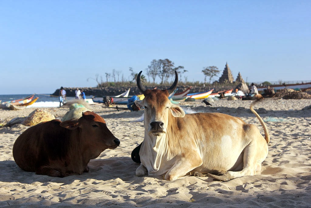 Cows on the beach at Mahabalipuram, Tamil Nadu