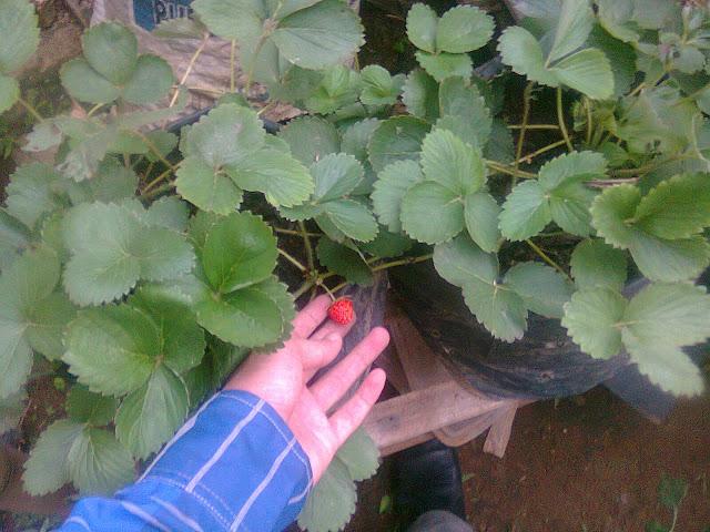 Pohon Strawberry Nampak Subur