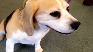 veterinaria online estornudo inverso en perros