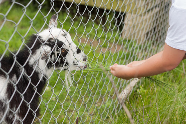 child feeding grass to a goat