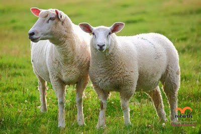 Nhau thai cừu tốt với sức khỏe và làm đẹp da