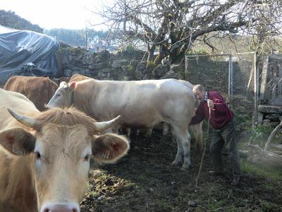 Se venden cinco vacas de raza, buey semental y tres terneros CIMG7275+%5B1280x768%5D