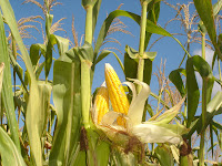 corn-maize-agriculture-commodities