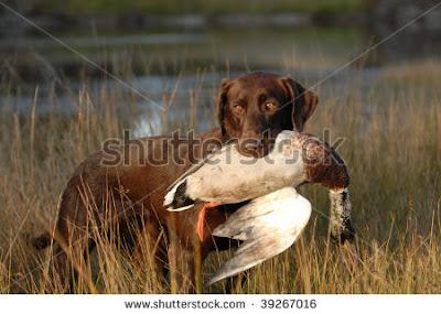 hunting-chocolate-labrador-retriever