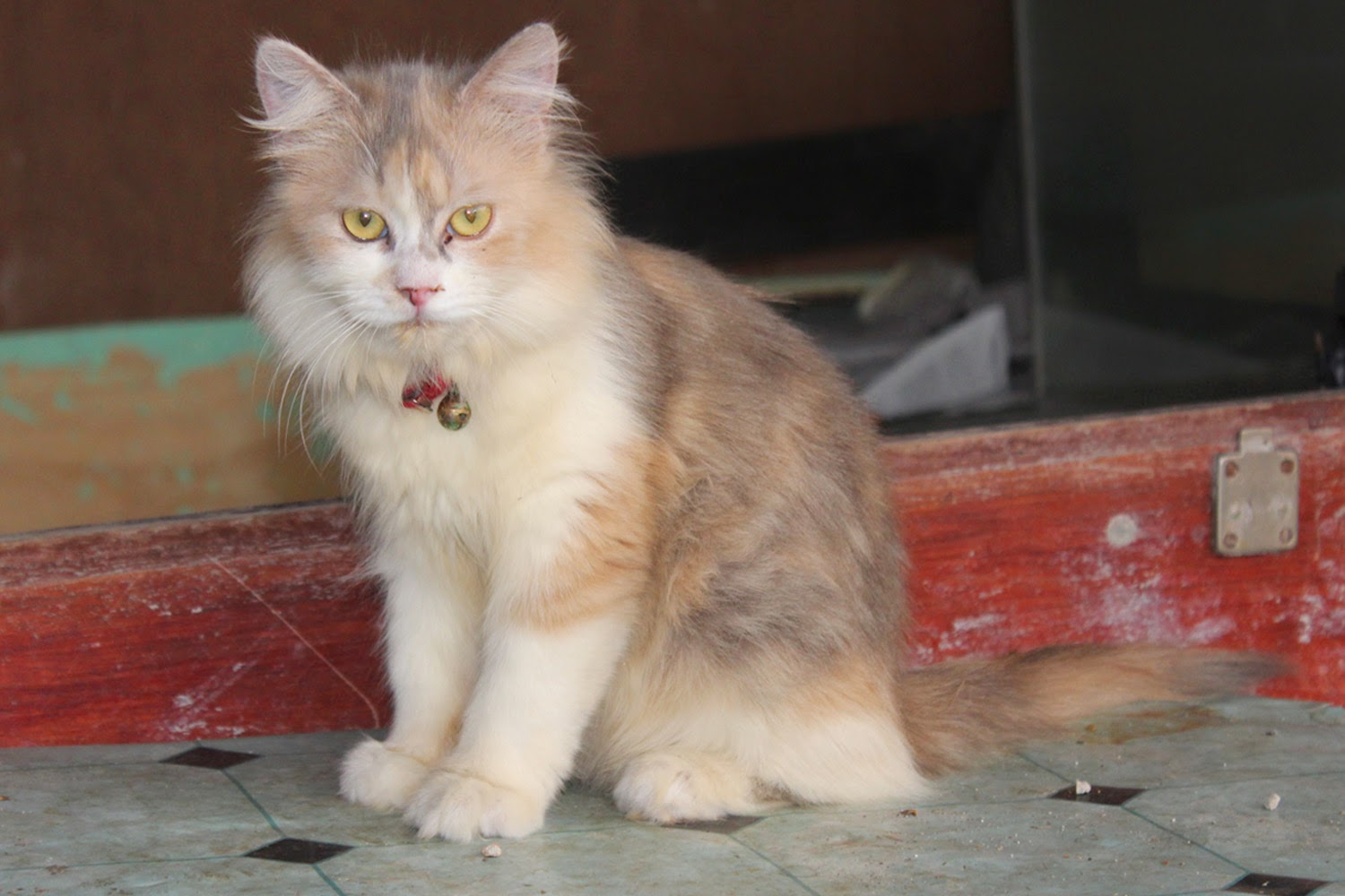 Januari 2015 Kucing Persia