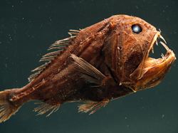 Fangtooth Fish - Hewan Teraneh