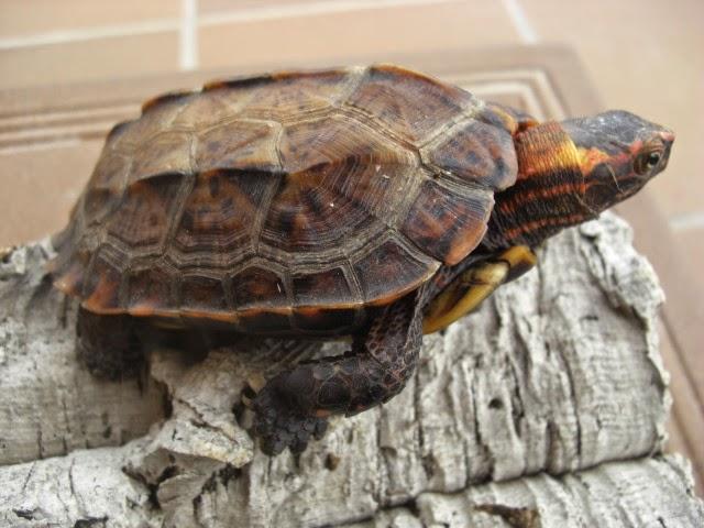 Geoemyda japonica - Tortuga de pecho negro de Okinawa
