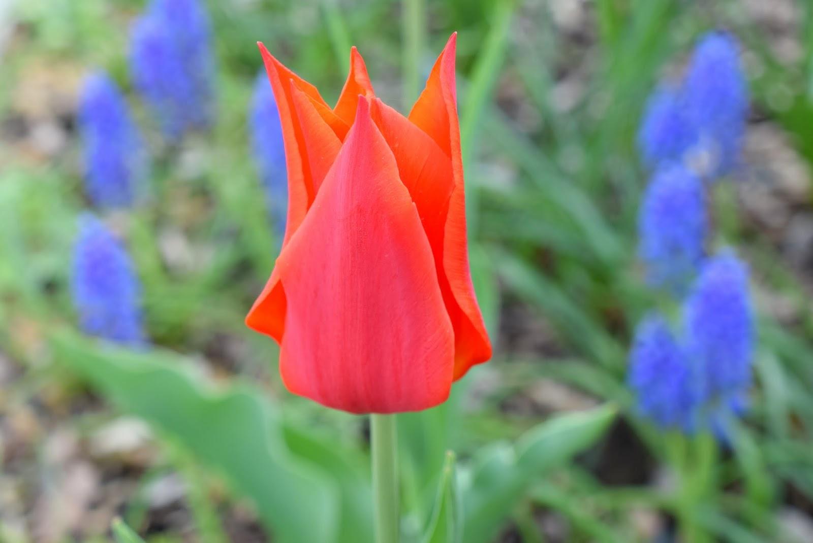 Frühling: Rote Tulpe