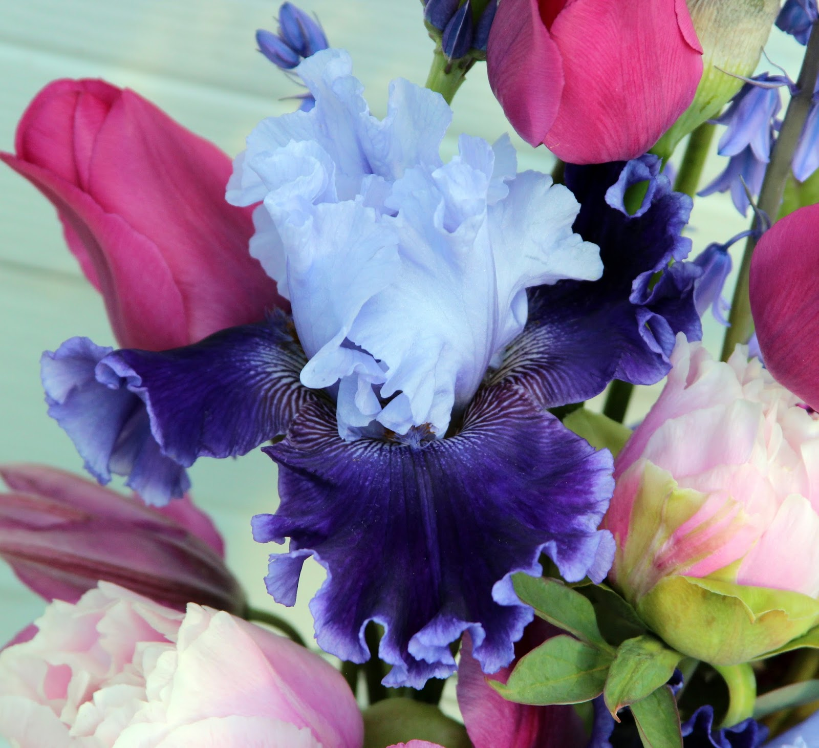 Tall Bearded Iris Global Crossing And Spring Blooms In