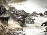 Foto-foto Menakjubkan Saat Buaya Terkam Wildebeest