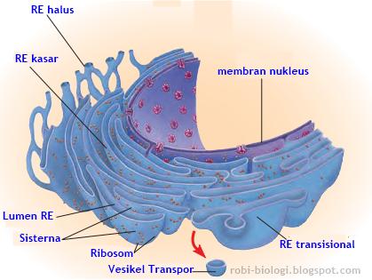 Retikulum Endoplasma: Pabrik Biosintesis - BELAJAR BIOLOGI