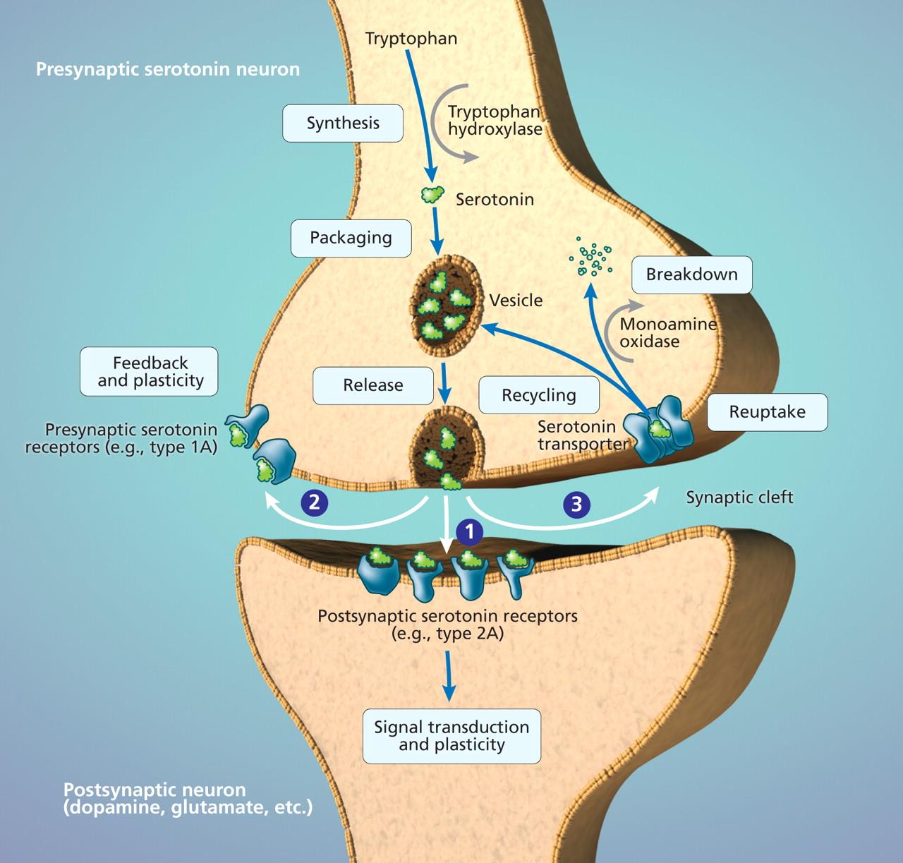 Serotonin And Its Uses